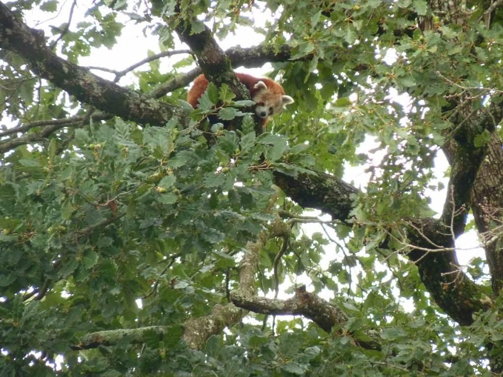 panda roux ou petit panda dans un arbre