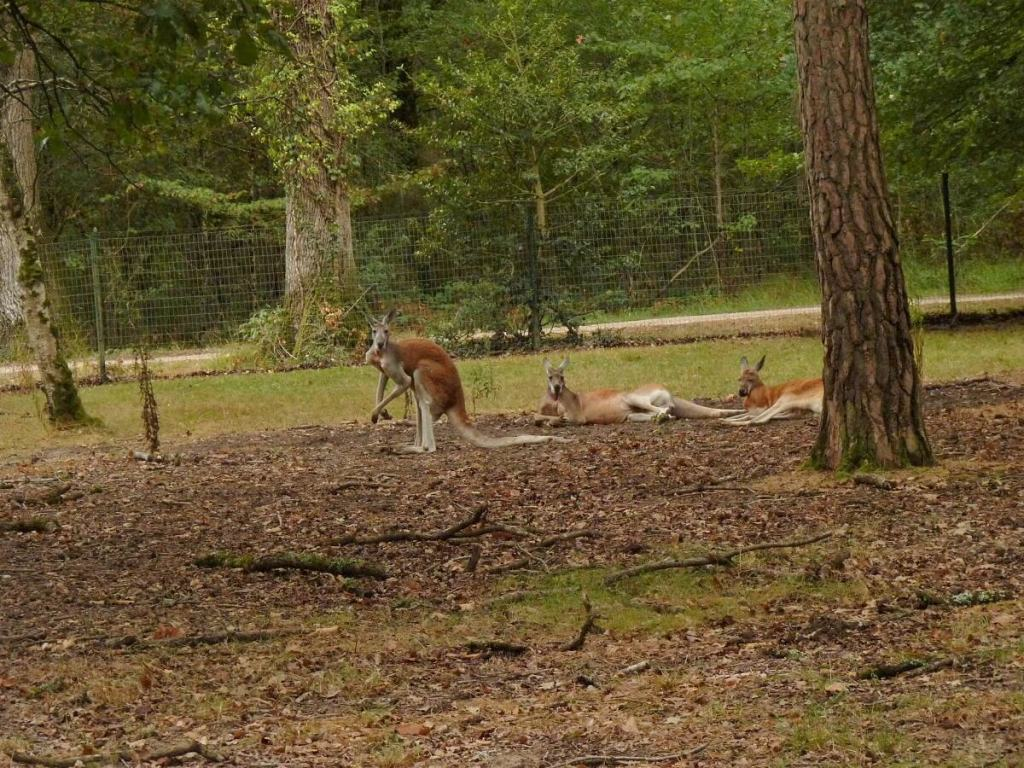 trois kangourous