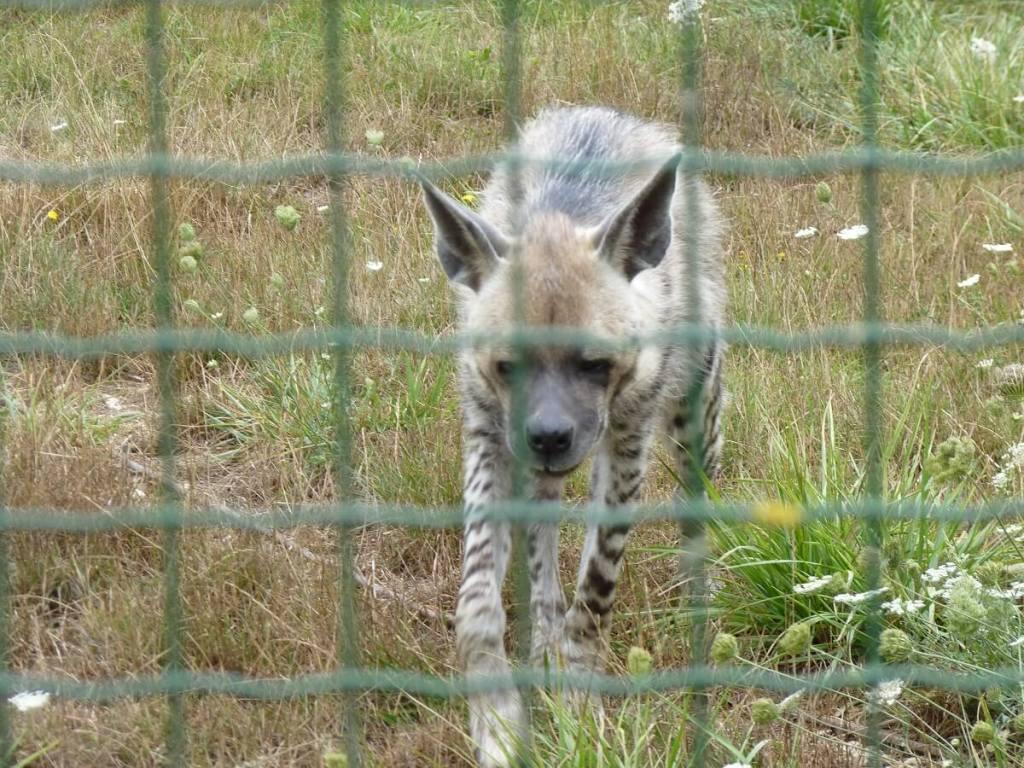hyène rayée dans son enclos
