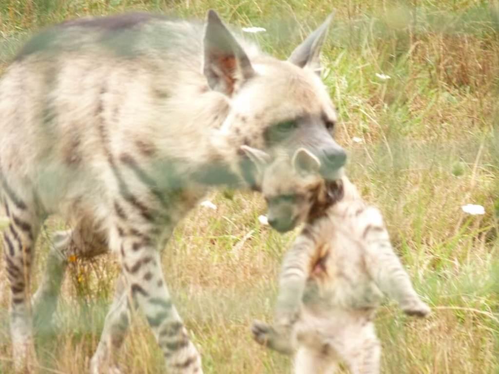 hyène rayée tenant son petit dans la gueule